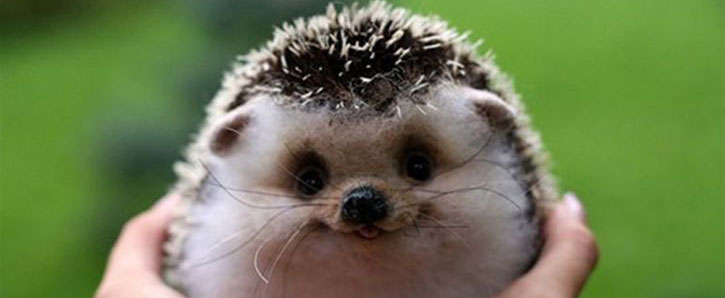 a Hedgehog knows just how to do one thing (well)